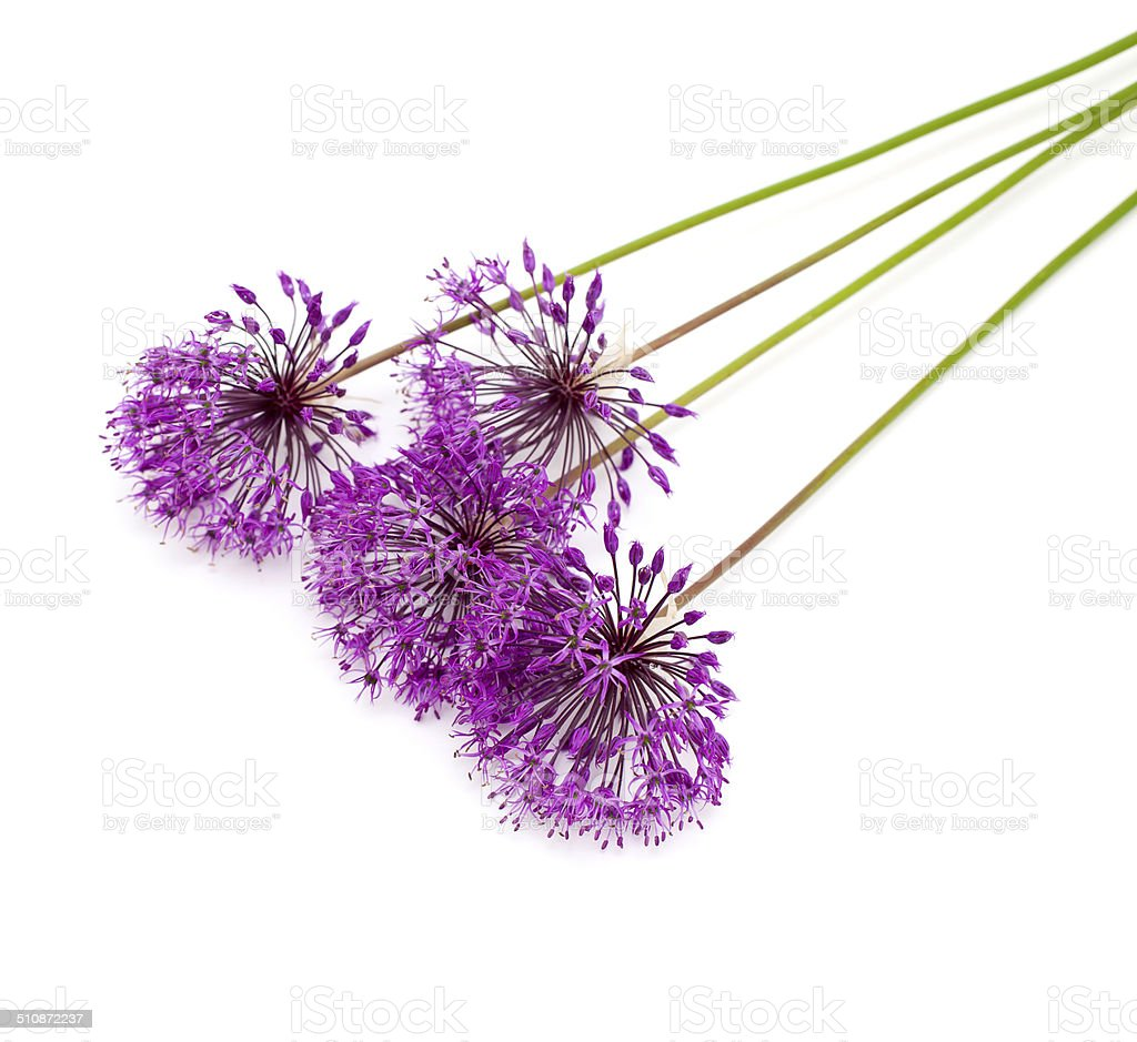 Allium Flowers Iaolated On White Stock Photo More Pictures Of