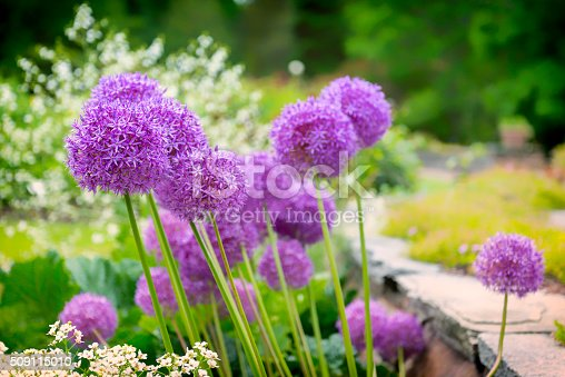 Allium flowers in a beautiful garden.