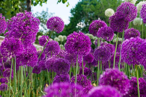 Allium flowers in a flower bed foto