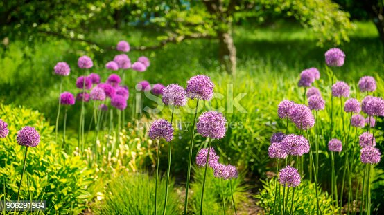 Purple Allium in lavish garden. Lush foliage.