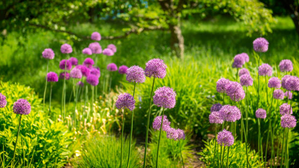 Allium flowers panorama in springtime