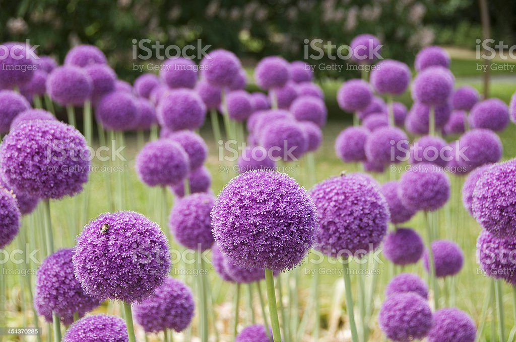 Allium Flowers​​​ foto