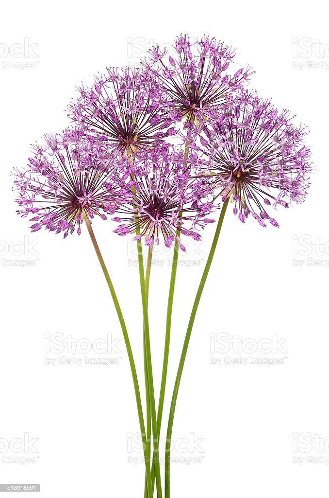 Allium flowers stock photo