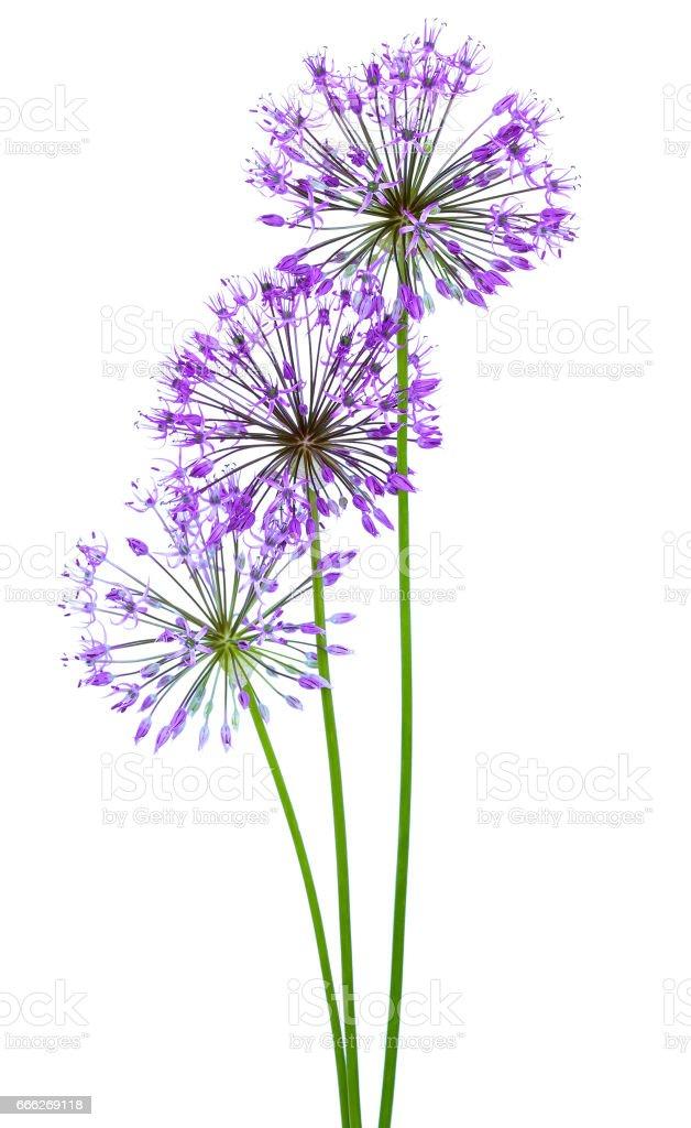 Allium bloemen foto