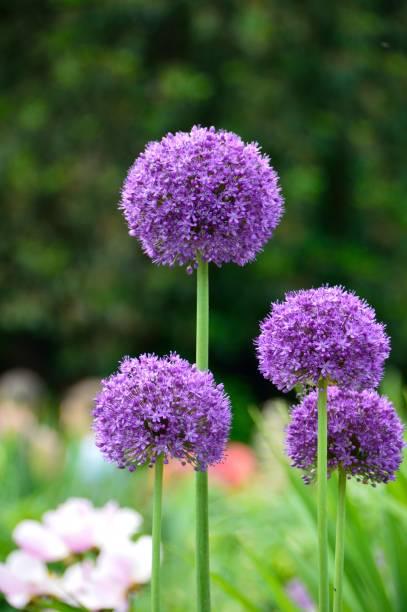 allium flowers foto