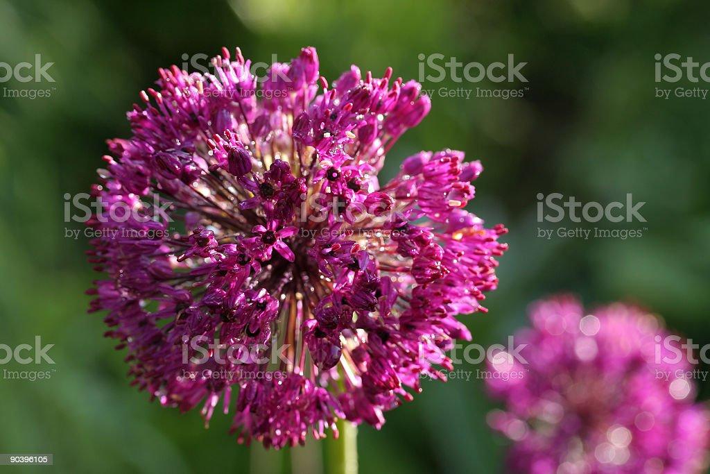 Allium flowers royalty-free stock photo