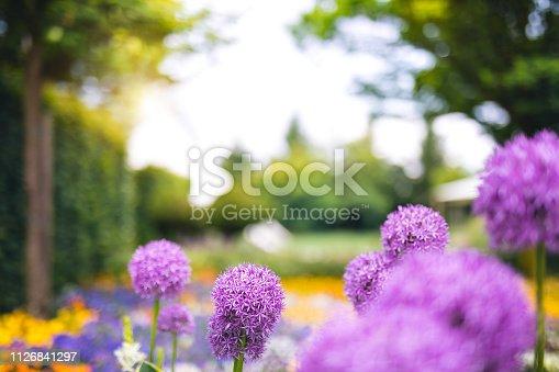 Purple allium flowers in park.