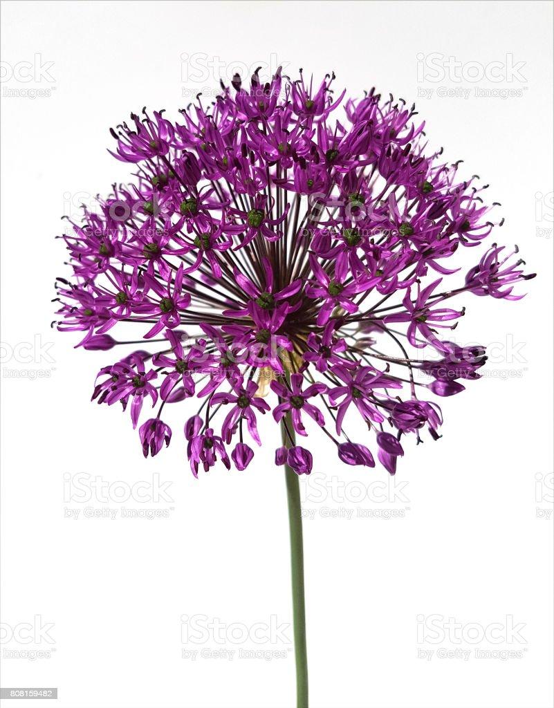 Allium, giant onion stock photo