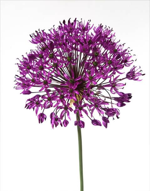Allium, gigantische UI foto