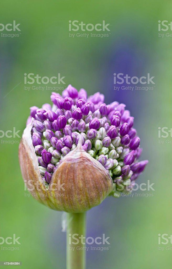 Allium Giganteum flower bud stock photo