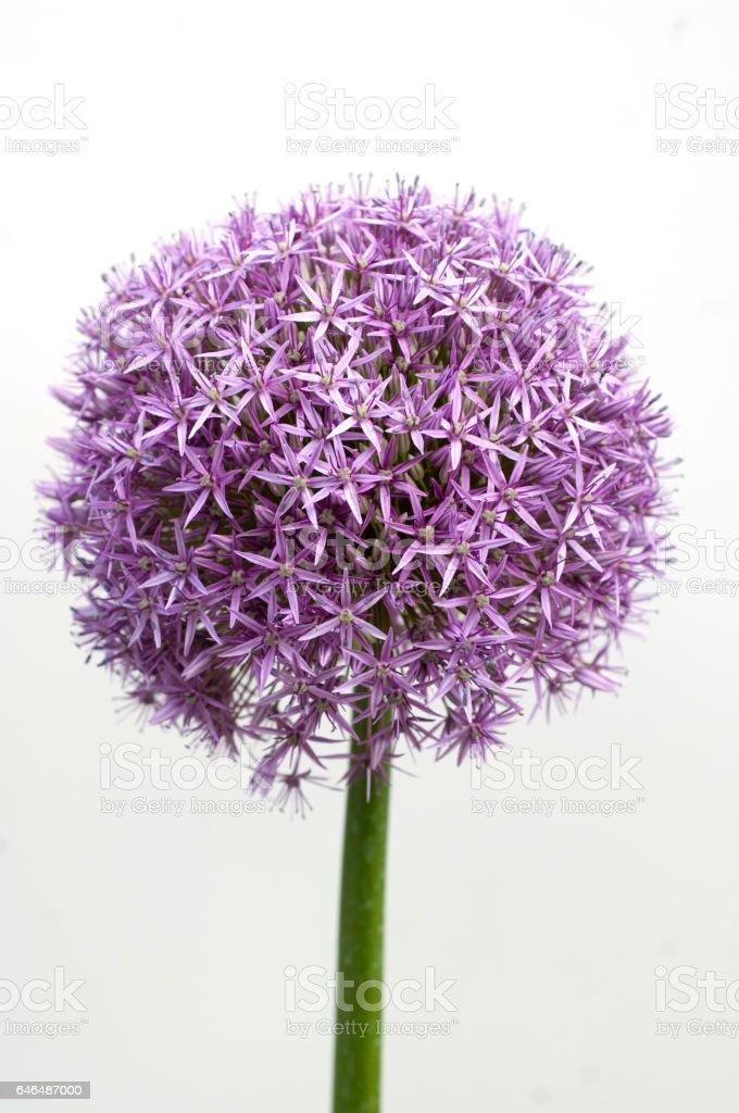 Allium; giganteum; Reusachtige Allium foto