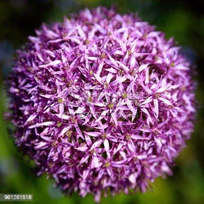 Bloom of an Allium Giganteum