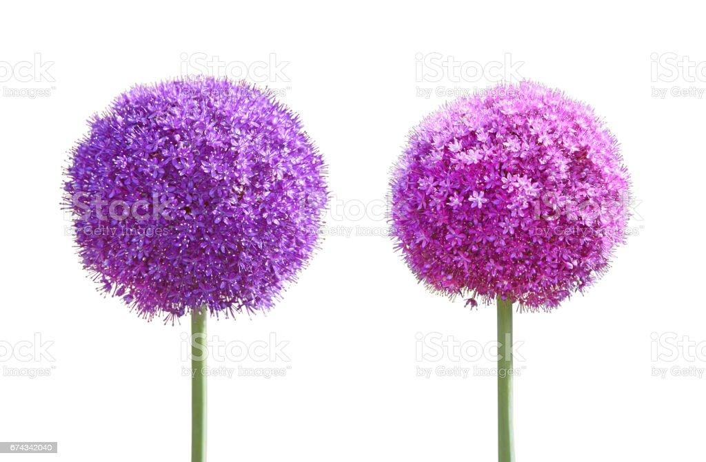 Allium Giganteum Set foto
