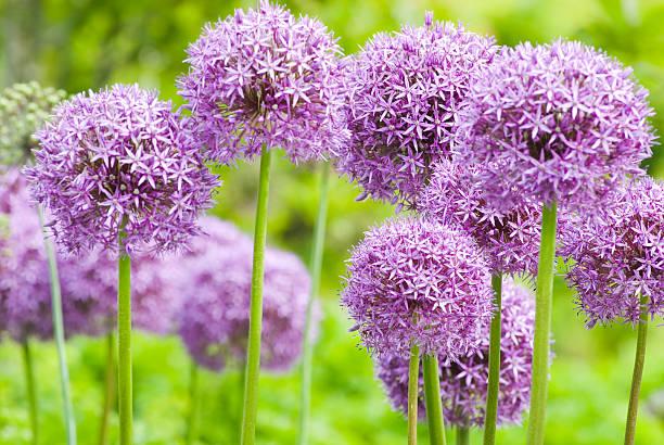 Allium 'Globemaster' ornamental onion - XI foto
