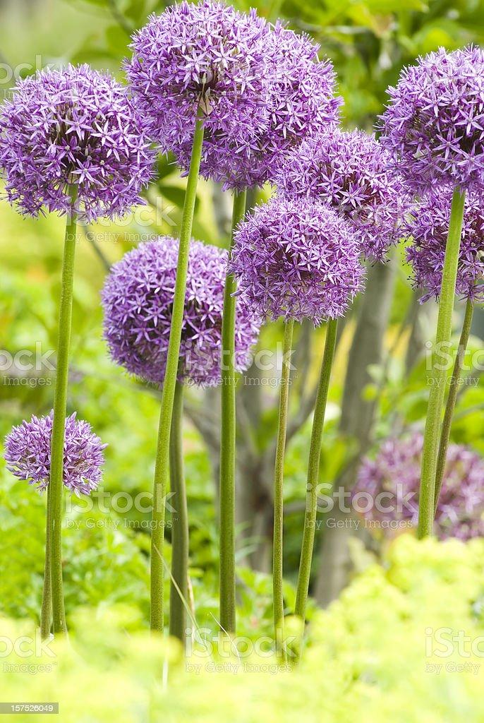 Allium 'Globemaster' ornamental onion - XII stock photo