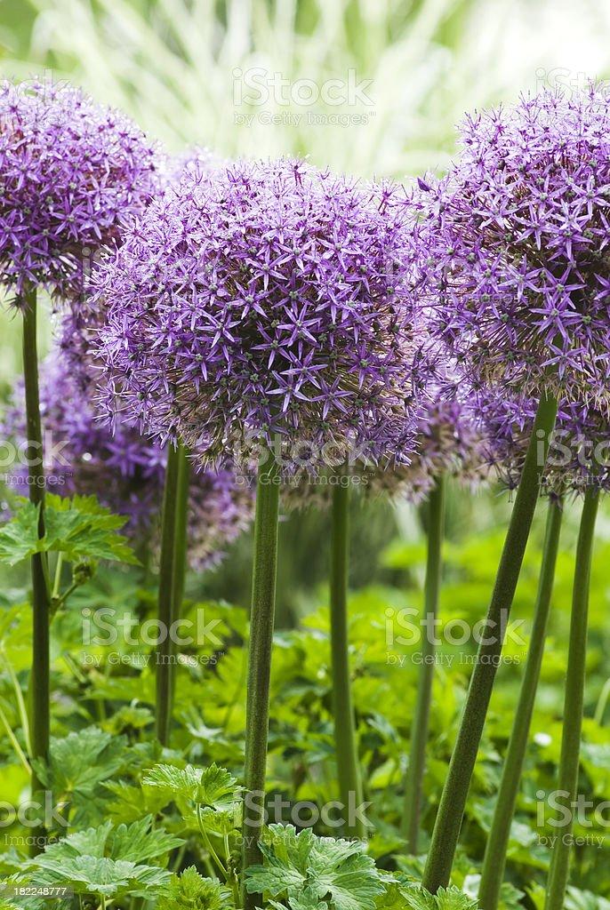 Allium 'Globemaster' ornamental onion - XIII stock photo