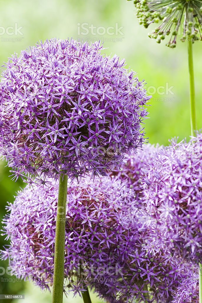 Allium 'Globemaster' ornamental onion - XIV​​​ foto