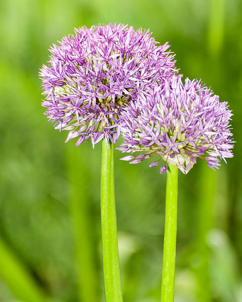 Allium Globemaster foto