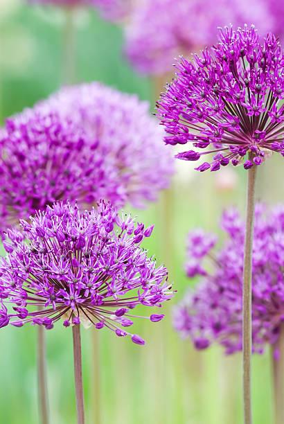 Allium hollandicum 'Purple Sensation' - III foto