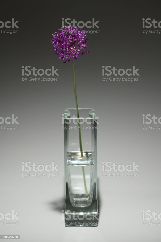 Allium hollandicum 'Purple Sensation' stock photo