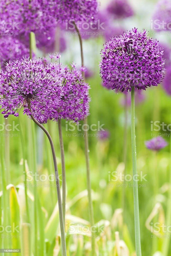 Allium hollandicum 'Purple Sensation' - X royalty-free stock photo