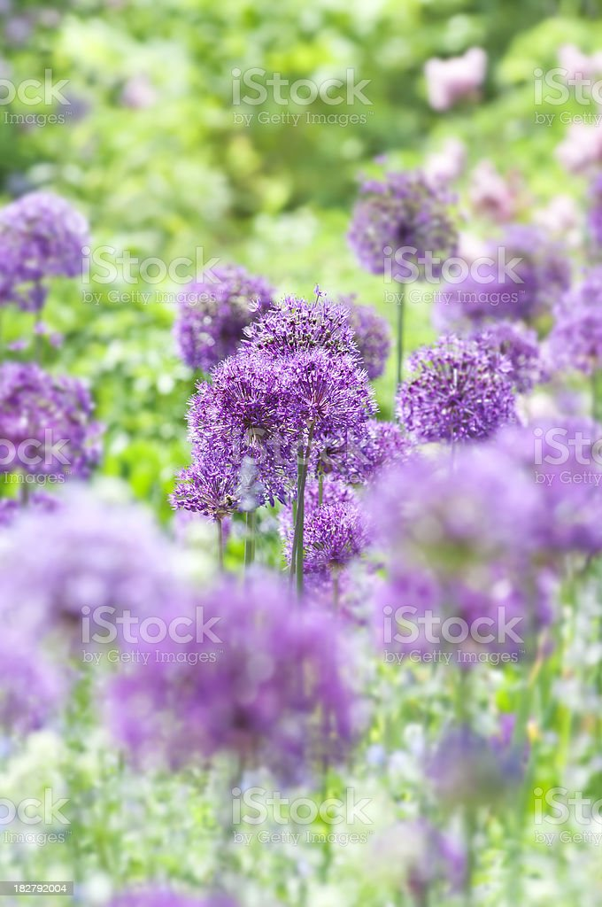 Allium hollandicum 'Purple Sensation' - XVII​​​ foto