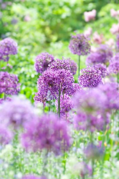 Allium hollandicum 'Purple Sensation' - XVII foto