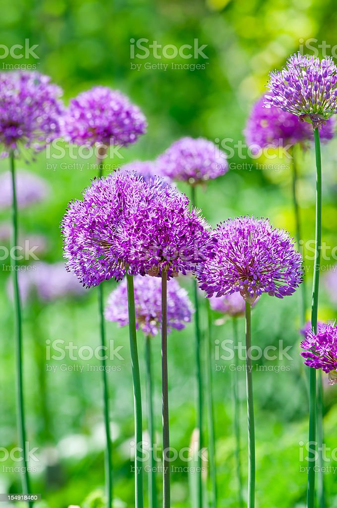 Allium hollandicum 'Purple Sensation' - XVIII stock photo