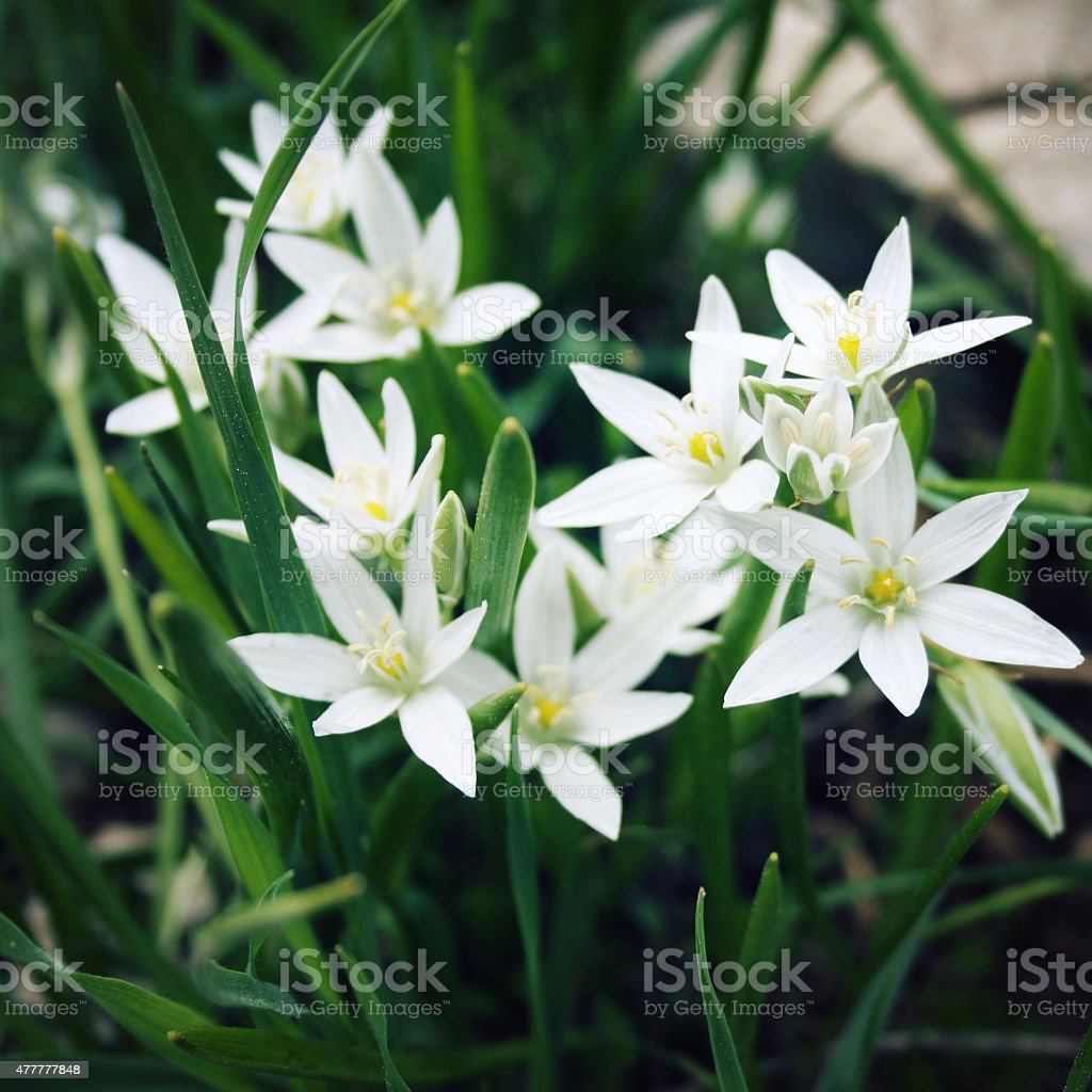 Allium Humile Small White Flowers Toned Photo Stock Photo More