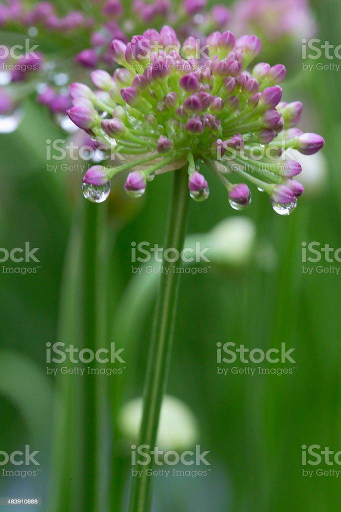 Allium - Millenium stock photo