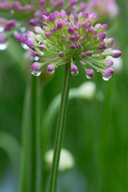 Allium - Millenium foto