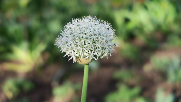 Allium Nigrum foto