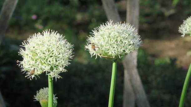 Allium Nigrum stock photo