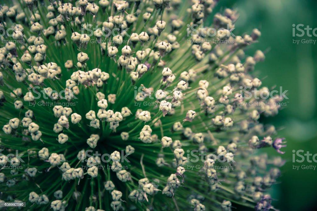Allium on a field - Stock image stock photo