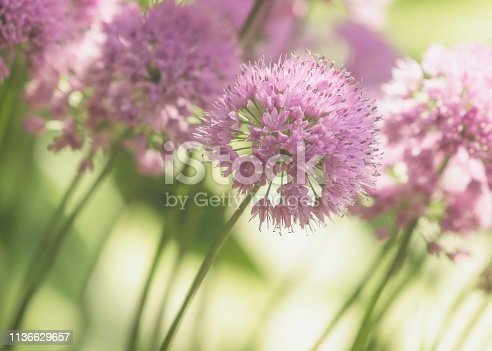 Close-up of blooming Allium  - Onion Flower.