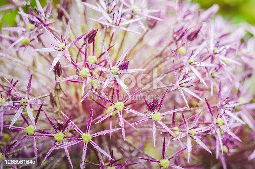 Allium, ornamental garlic inflorescence with numerous tiny flowers.