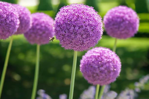 Allium foto