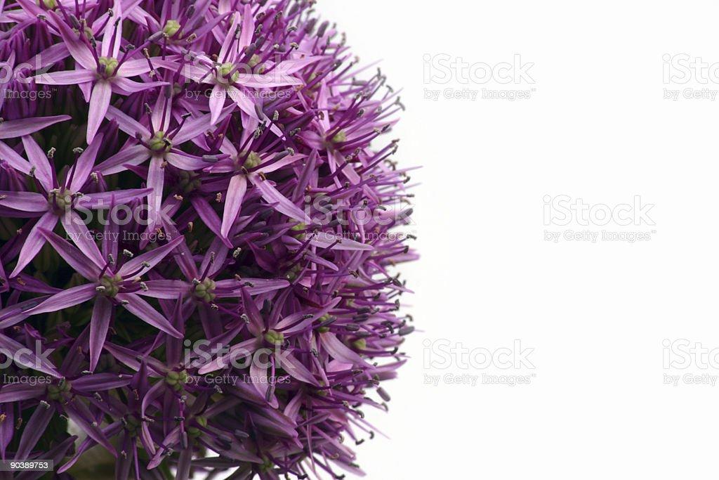 Allium royalty-free stock photo