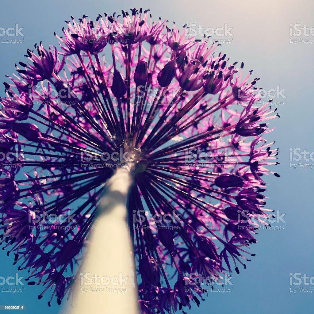 Allium zbiór zdjęć royalty-free