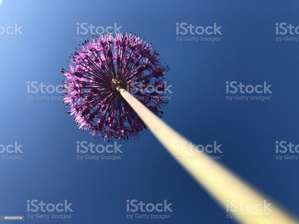 Allium royalty-free stock photo