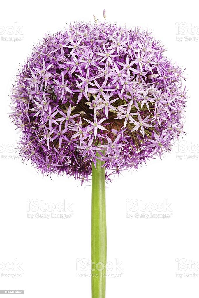 Allium, purple garlic flowers on white background stock photo