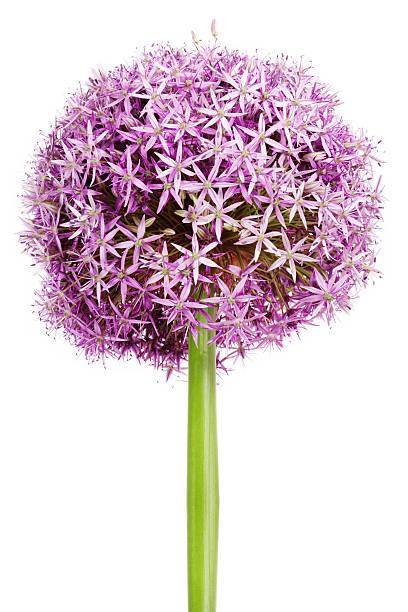 Allium, purple garlic flowers on white background foto