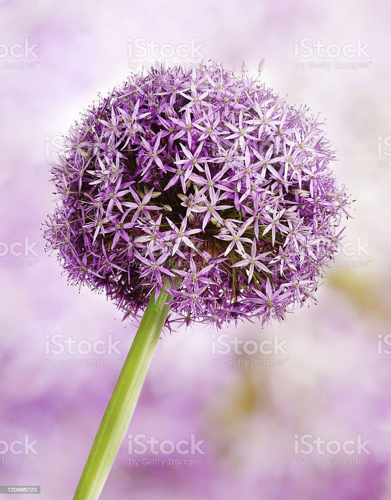 Allium, Purple garlic flowers royalty-free stock photo