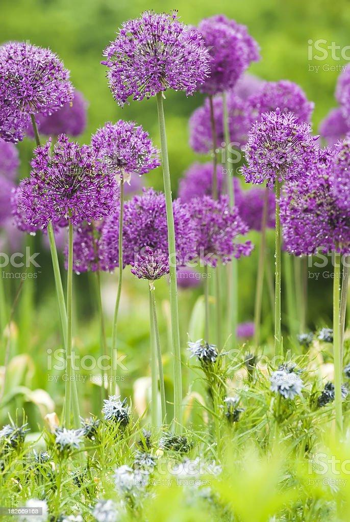 Allium 'Purple Sensation' and Blue Star (Amsonia) flowers - II royalty-free stock photo