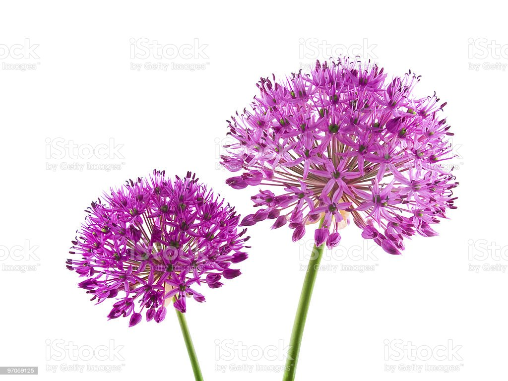 Allium Purple Sensation Flower royalty-free stock photo