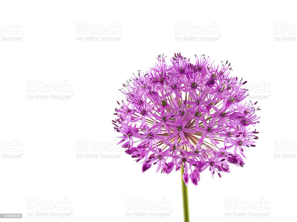 Allium Purple Sensation Flower royalty-free stock photo