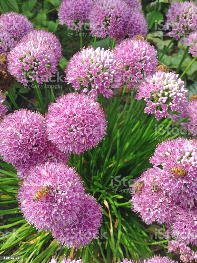 Allium Purple Sensation bloemen​​​ foto