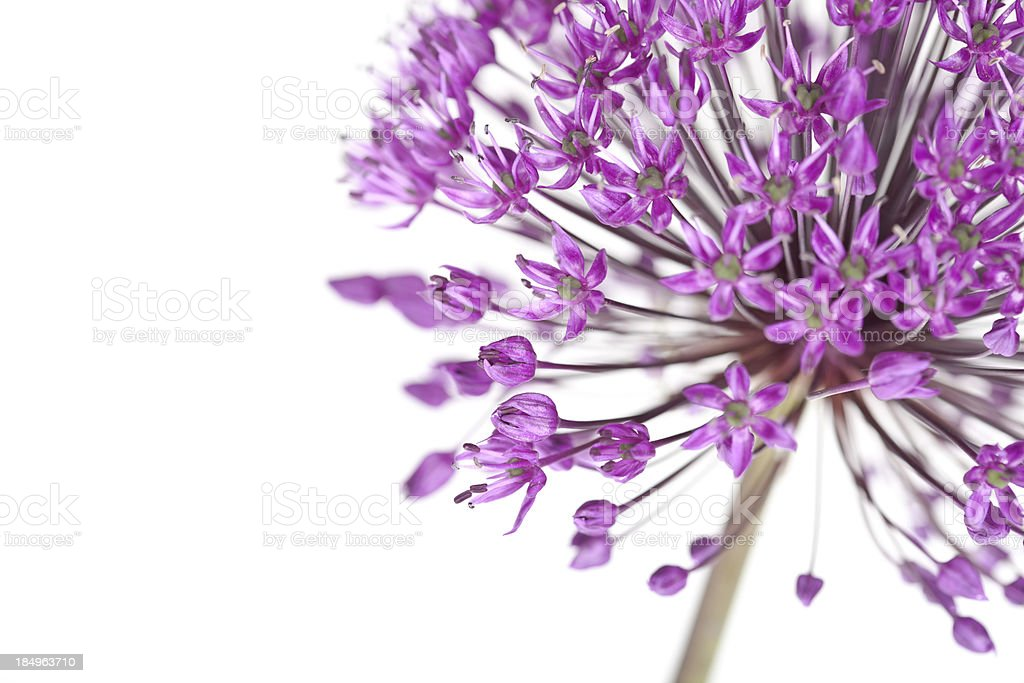 Allium Purple Sensation royalty-free stock photo
