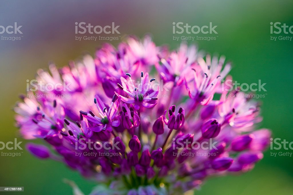 Allium 'purple sensation' stock photo