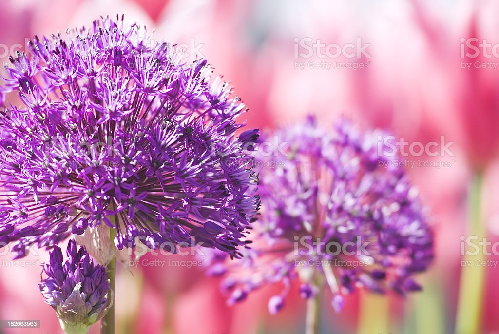 Allium 'Purple Sensation' with Red Tulips in the background (II) stock photo